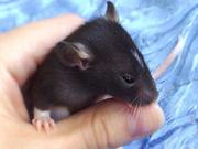 Домашнии крысята