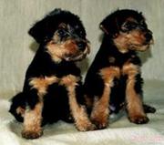 Вельштерьера щенки в Самаре,  возможна доставка в Чебоксары